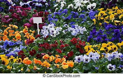flores, plano de fondo, viola