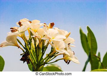 flores, plumeria