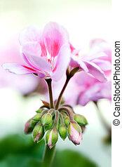 flores, primavera, geranio, jardín