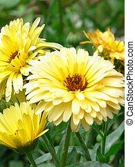 flores, primer plano, amarillo