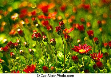 flores rojas, campo, plano de fondo