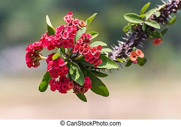 flores rojas, poi, sian