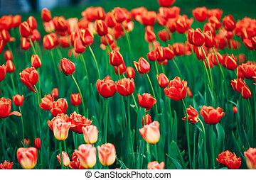 flores rojas, tulipanes, en, primavera, flor del jardín, cama, plano de fondo