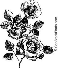 flores, roses., hand-drawn, ilustração, buquet, rosa