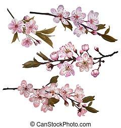 flores, sakura, fundo