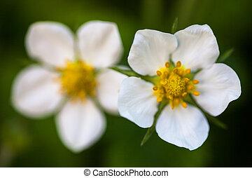 flores salvajes, (fragaria, fresa, vesca), blanco