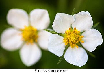 flores salvajes, vesca), (fragaria, fresa, blanco