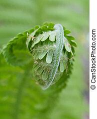 flores, spring., close-up., planta joven, helecho