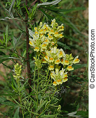 flores, toadflax, amarillo, planta medicinal