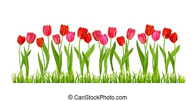 flores, tulipanes, aislado