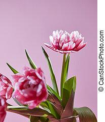 flores, tulipanes, con, hojas verdes, en, un, fondo rosa