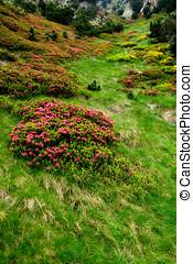 flores, vall, de, nuria, pirineos, catalán, pasto o césped, españa