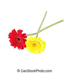 flores vermelhas, isol, amarela, gerbera