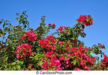 flores, vermelho