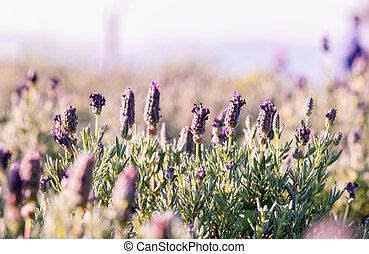 flores violetas, campo, plano de fondo, en, sunset.