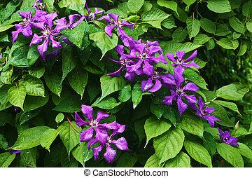 flores violetas, contra, verde sai
