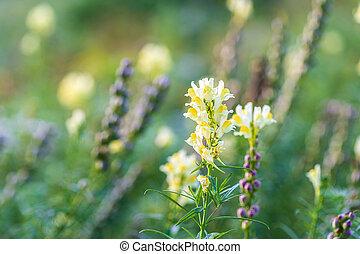 flores, vulgaris, o, toadflax, campo, amarillo, linaria