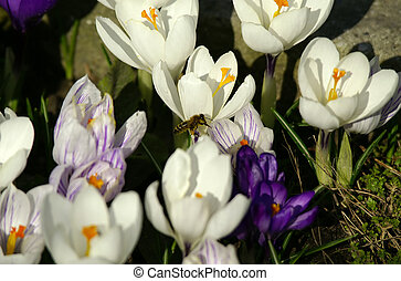 flores, y, abeja