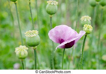 flores, y, amapola, cabezas