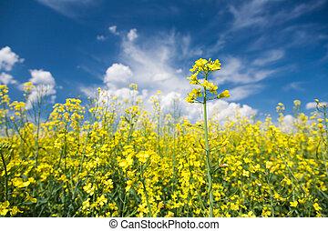 florescendo, canola, ou, rapeseed, campo