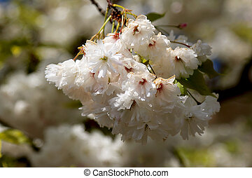 florescendo, primavera, árvore, jardim