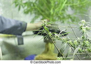 florescer, closeup, cannabis, cânhamo, bud., florescendo, flor