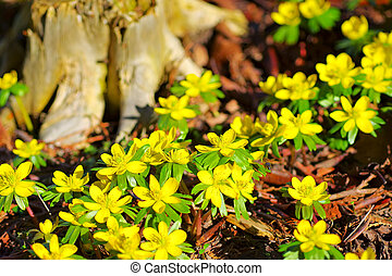 florescer, cores, aconite, inverno, amarela