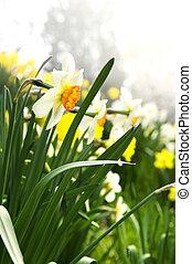 florescer, narcisos silvestres, em, primavera, parque