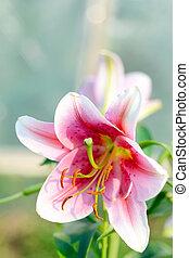 florescer, verão, flor, lírio, scene:
