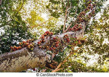 floresta, árvore, figo, frutas