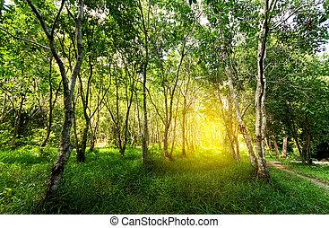 floresta, árvores., naturel, floresta verde, com, luz sol