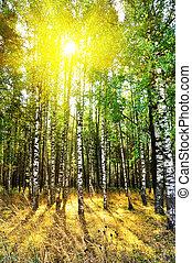 floresta, árvores, vidoeiro