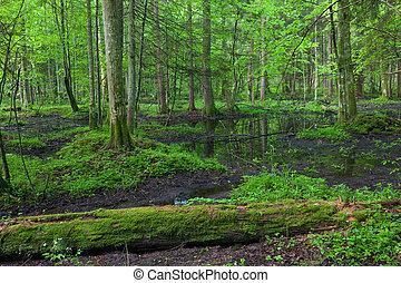 floresta, bialowieza, levantar, springtime, molhados