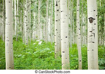 floresta, de, alto, branca, aspen, árvores