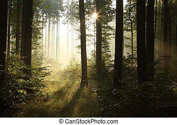 floresta nebulosa, amanhecer