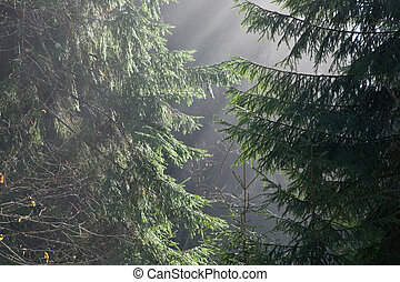 floresta nebulosa, em, manhã
