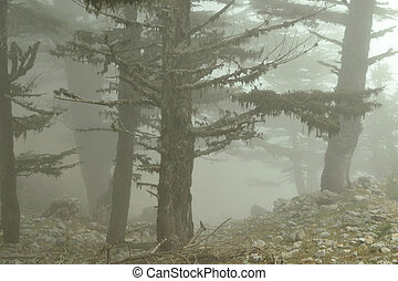 floresta nebulosa, morning.