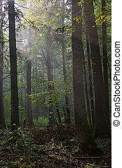 floresta nebulosa, verão, manhã