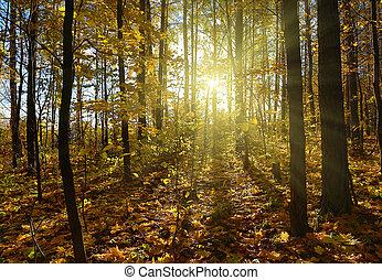floresta outono, com, sol