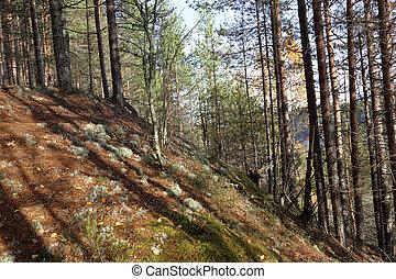floresta outono, em, karelia, rússia