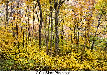 floresta outono, ocidental, nc, folhagem baixa, árvores,...
