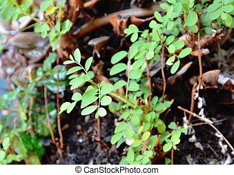 floresta, pequeno, crescer, planta, erva daninha