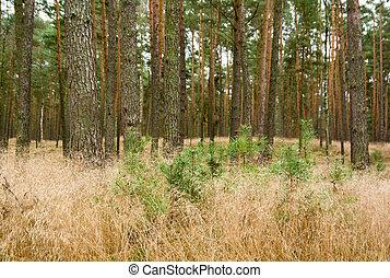 floresta, pinho