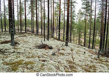 floresta pinho, plantado, ligado, era gelo, dunas areia,...