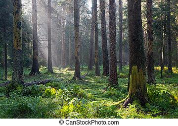 floresta, raios sol, outonal, entrar, manhã