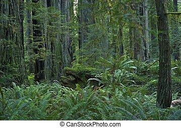 floresta redwood, califórnia