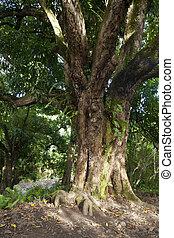 floresta tropical, árvore, maui, havaí
