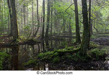 floresta, verão, molhados, bialowieza, amanhecer, levantar