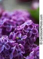 floreza araña, lila