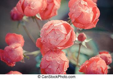 Floribundas rose, vintage flower